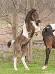 Rearing Gypsy Vanner Cross Foal - Stock