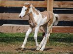 Halting Gypsy Vanner Foal - Stock