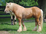 Young Gypsy Vanner Stallion Conformation - Stock