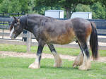 Walking Gypsy Vanner Stallion - Stock