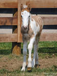 Walking Gypsy Vanner Foal - Stock