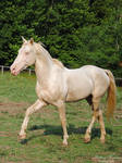 Prancing TWH Stallion - Stock by BHP-Stock