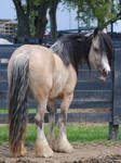 :P Gypsy Vanner Mare - Stock