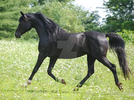 Trotting Arabian Stallion - Stock