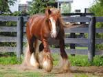 Gypsy Vanner Stallion - Stock