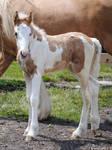 Gypsy Vanner Foal - Stock