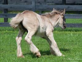 Spooking Gypsy Vanner Foal - Stock