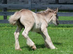 Spooking Gypsy Vanner Foal - Stock by BHP-Stock