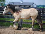 Gypsy Vanner Stallion Walking - Stock