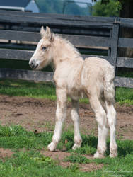 Gypsy Vanner Foal Looking Back - Stock