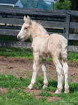 Gypsy Vanner Foal Looking Back - Stock