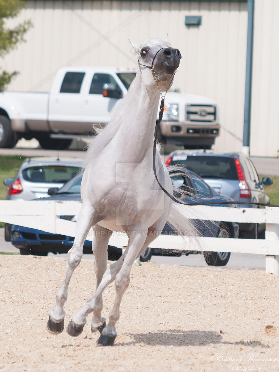 Spooking Arabian - Stock