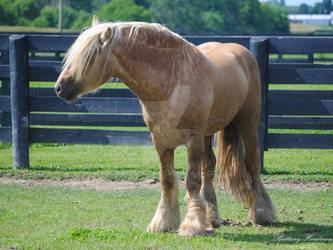 Gypsy Vanner Stallion - Stock