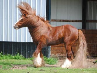 Gypsy Vanner Hair Toss - Stock