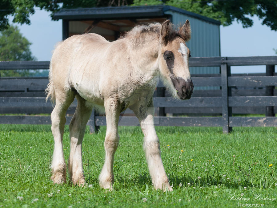 Curious Gypsy Vanner Colt - Stock