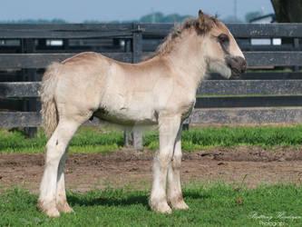 Gypsy Vanner Foal Conformation - Stock