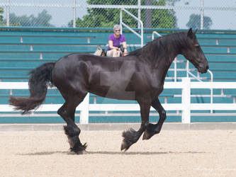 Cantering Friesian - Stock
