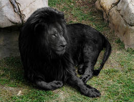Black (Melanistic) Lion by pavoldvorsky