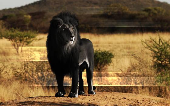 Black Lion wallpaper