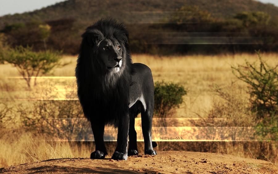 Black Lion wallpaper by PAulie-SVK
