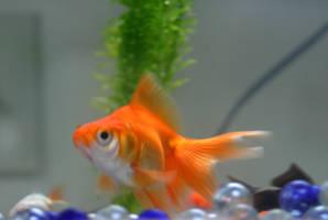 Goldfish by tigeress66-stock