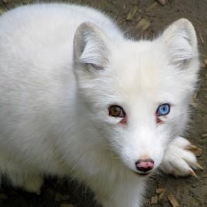 IceFox11's Profile Picture