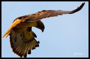 Hawk III by Bright-Spot-Photo