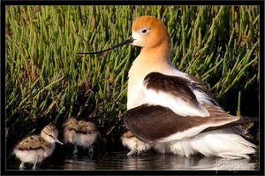 Avocet and Chick II by Bright-Spot-Photo