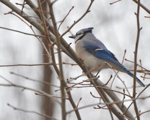 Bluejay in the Tree