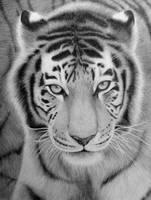 Tiger by silhoveete