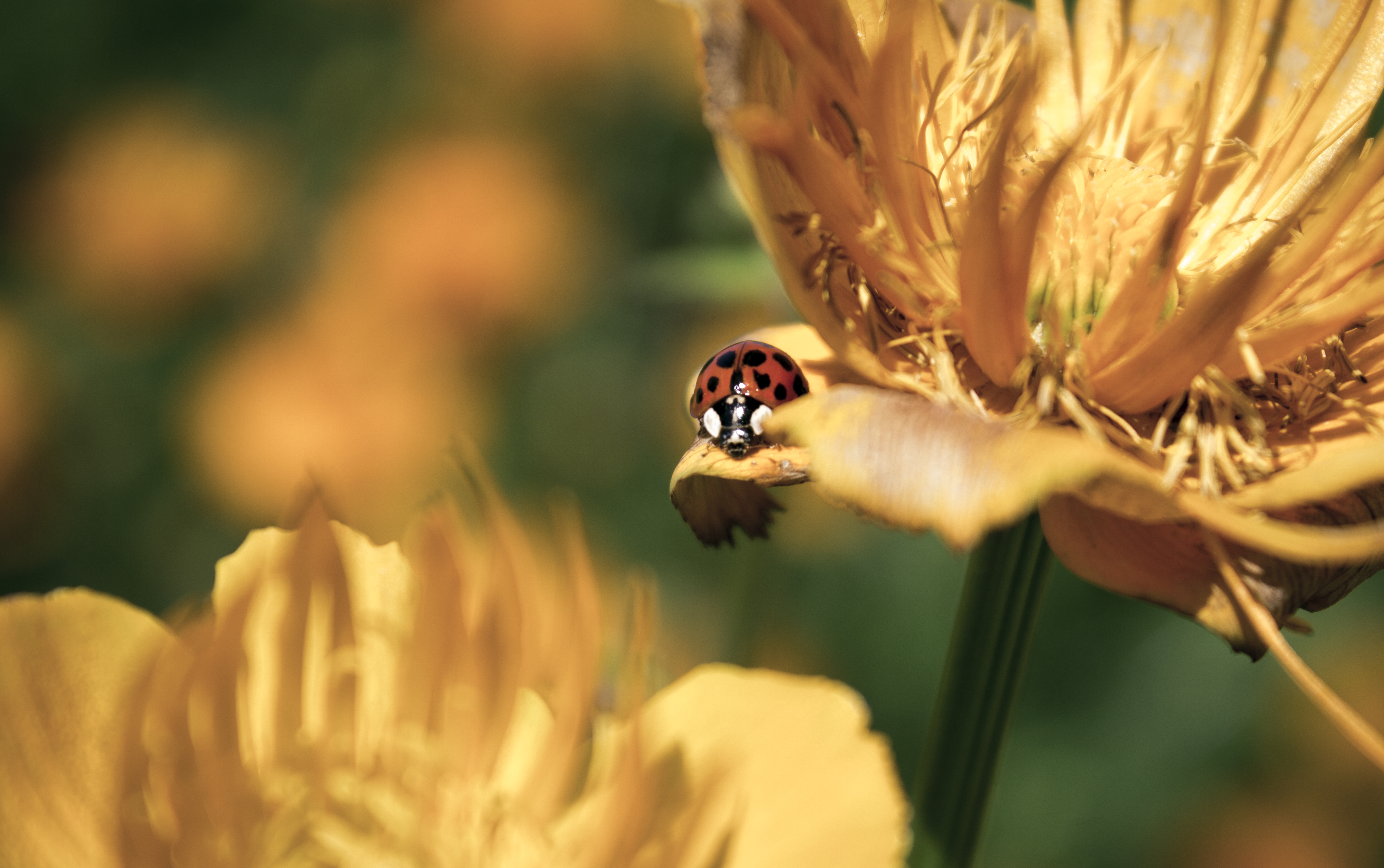 Ladybug on Yellow/Orange flowers by Danimatie