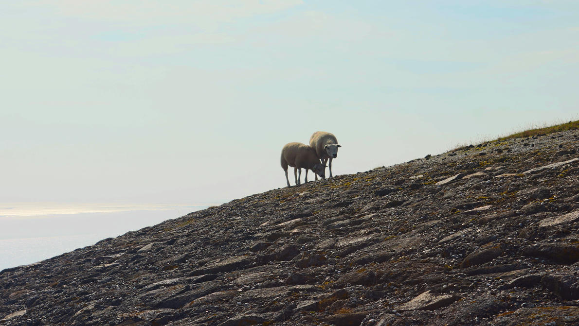 Mountain Sheep by Danimatie