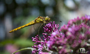Dragonfly close 1 by Danimatie