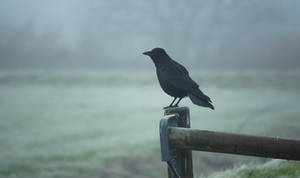 Close-up Crow