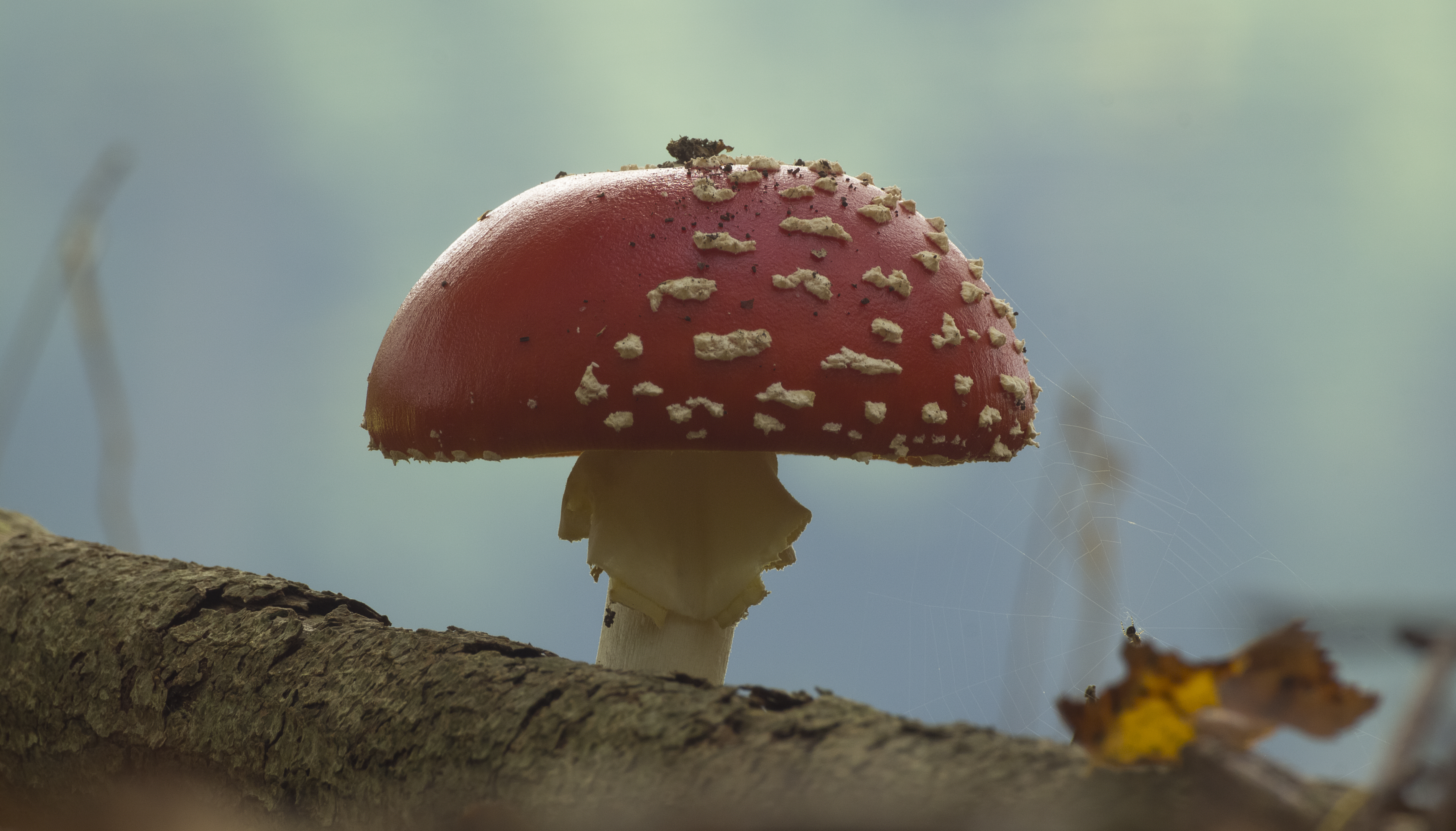 Perfect Fly Agaric by Danimatie