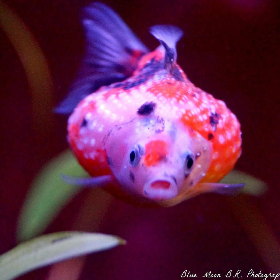 Baby calico pearlscale goldfish by colcacola on DeviantArt