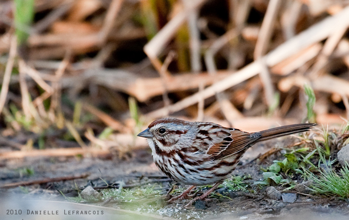 Song Sparrow by Dani-Lefrancois