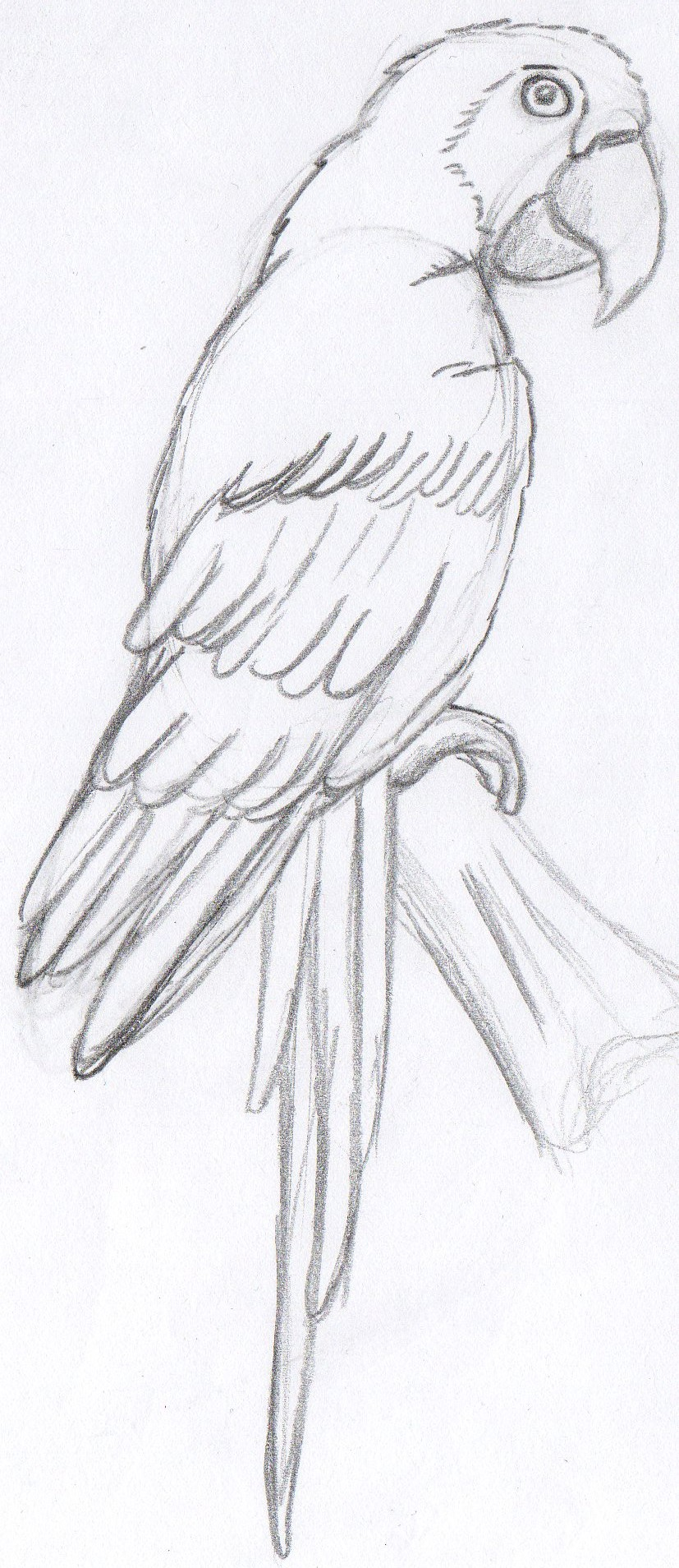 Little Parrot Sketch By Chlorofilla On DeviantArt