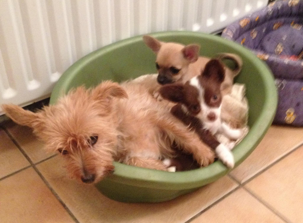 Chihuahua Puppies and Foster Mother by aldwarke