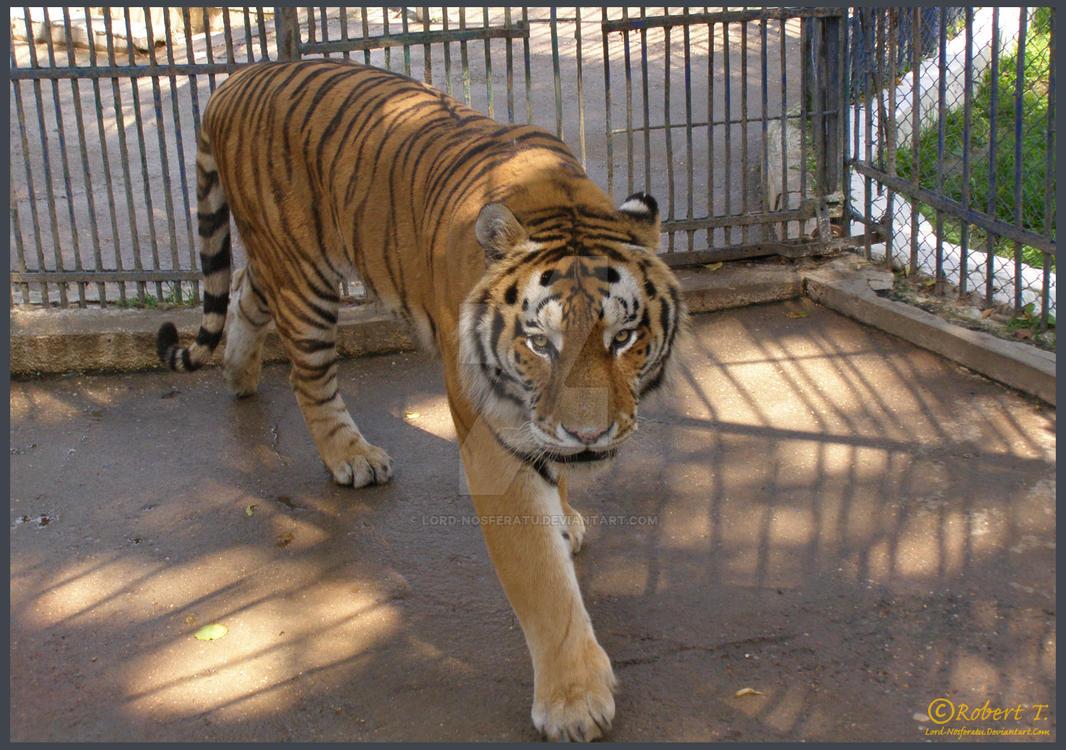 Wild Animals: Tiger by Lord-Nosferatu