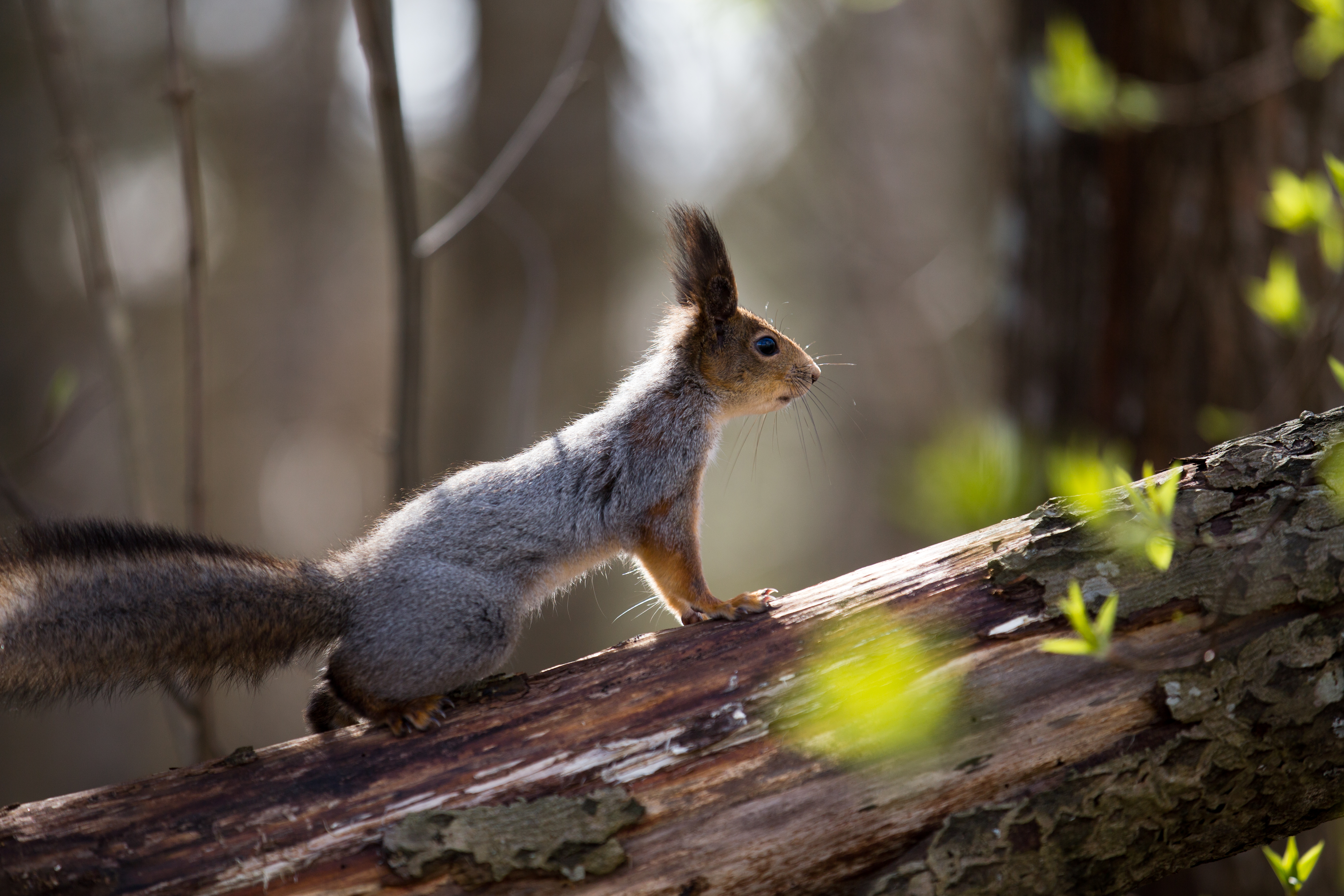 Squirrel in the woods by BIREL