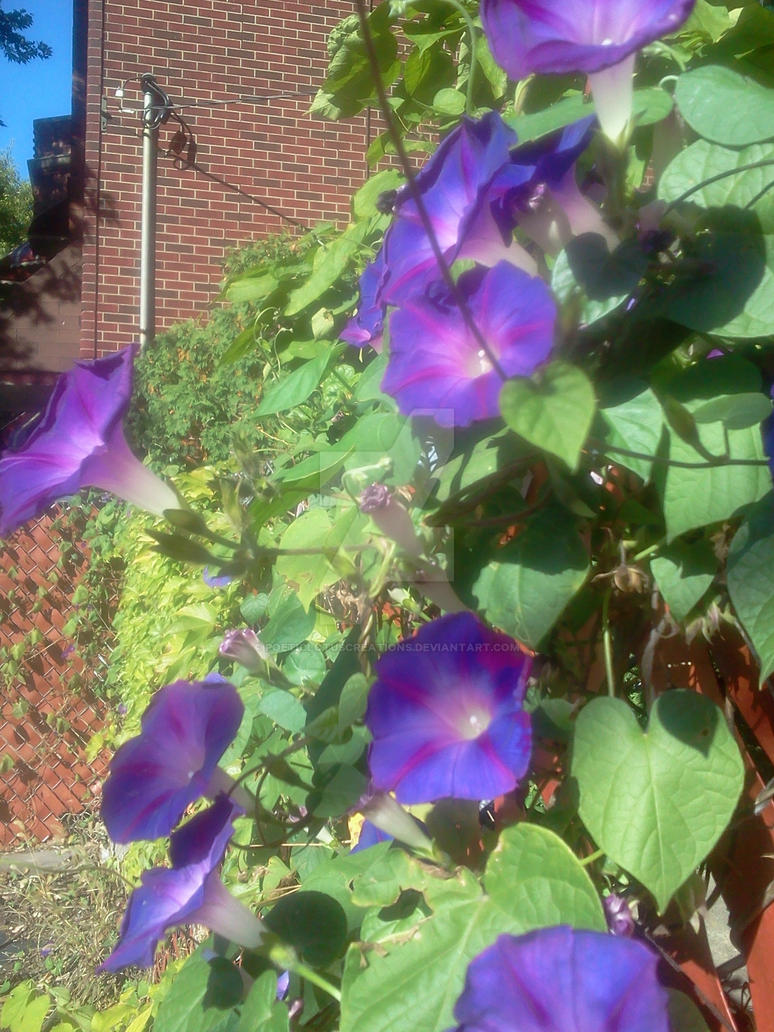 Glowing in the Morning's Glory by PoeticLotusCreations