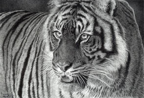 Tiger Portrait by GiovanniChis