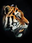 Tiger-Scratchboard Art