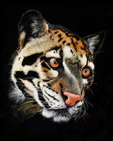 Clouded Leopard by GiovanniChis