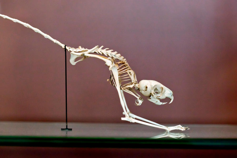 Jerboa Skeleton