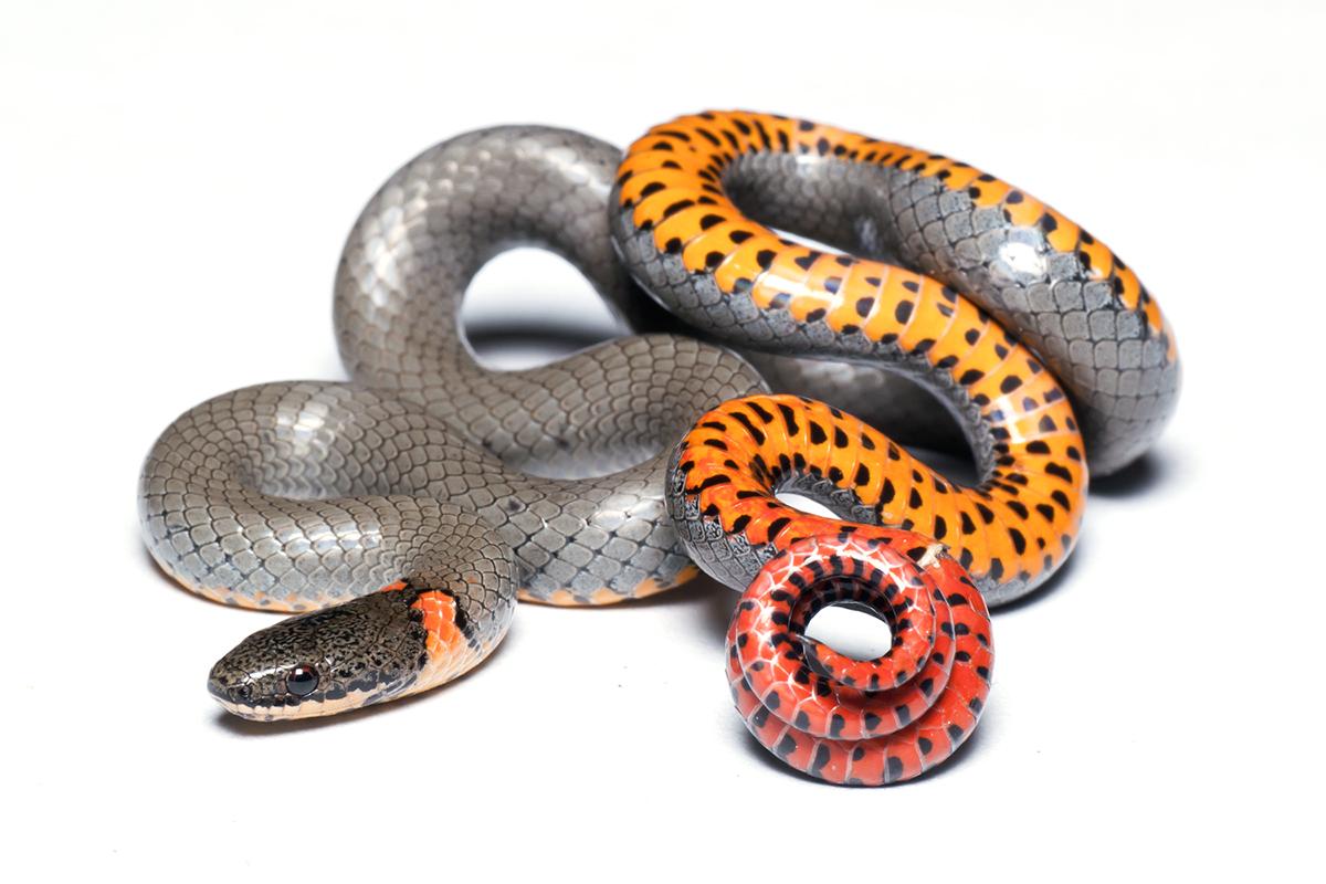 Ringneck Snake by ribbonworm