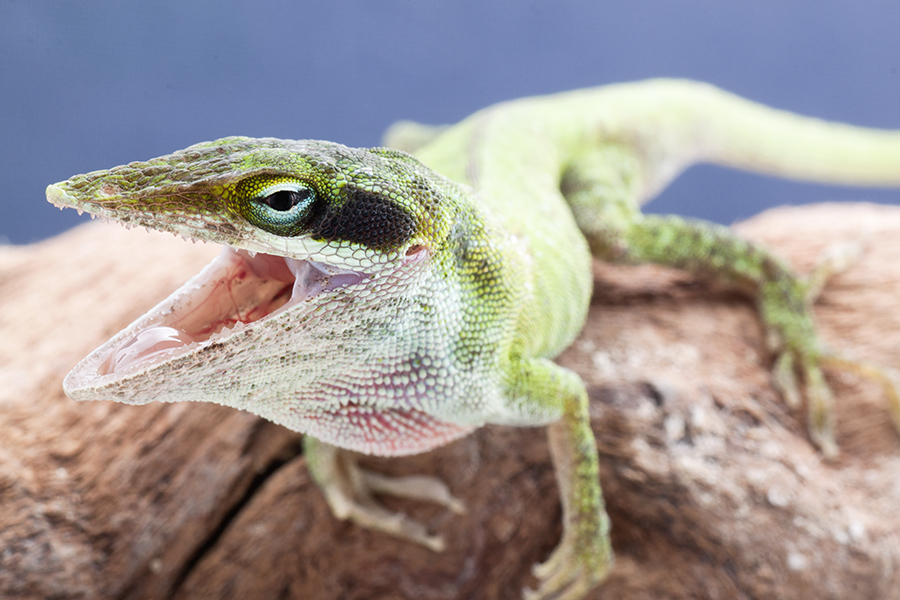 Angry Anole by ribbonworm