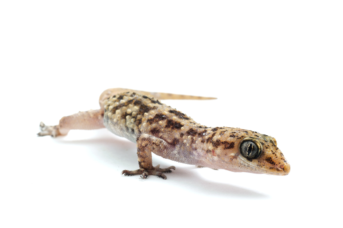 hemidactylus house geckos on geckos-galore - deviantart