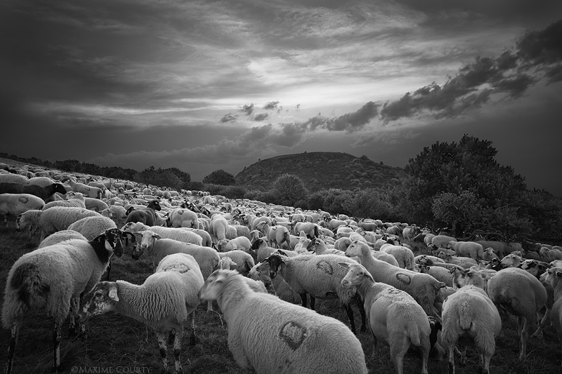 Mountain Sheep by MaximeCourty
